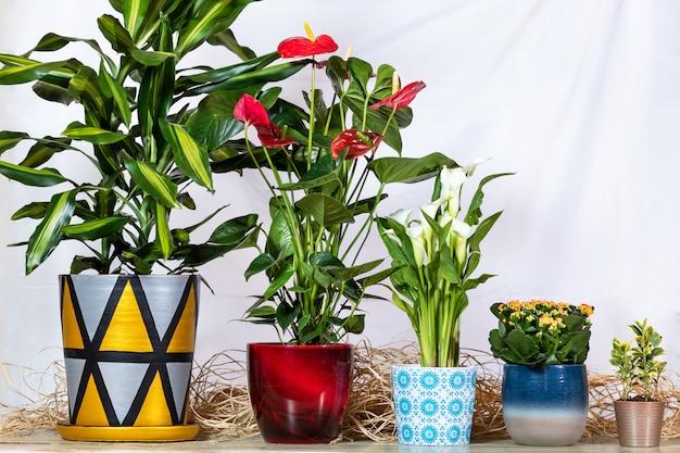 Dracaena fragrans cintho em vaso pintado à mão, anthurium laceleaf, arum lírio, kalanchoe, widow's-thrill