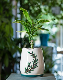 Dracaena fragrans massangeana em vaso pintado à mão