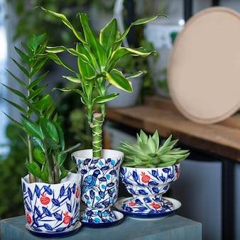Dracaena fragrans massangeana, joia de zanzibar, suculenta em um pote pintado à mão com logotipo vazio
