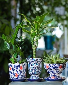 Dracaena fragrans massangeana, joia de zanzibar, suculenta em um pote pintado à mão