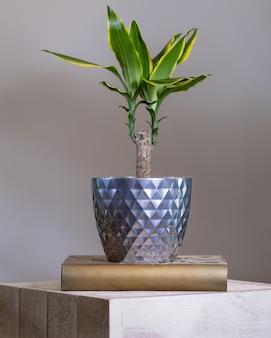 Dracaena fragrans planta em vaso de prata