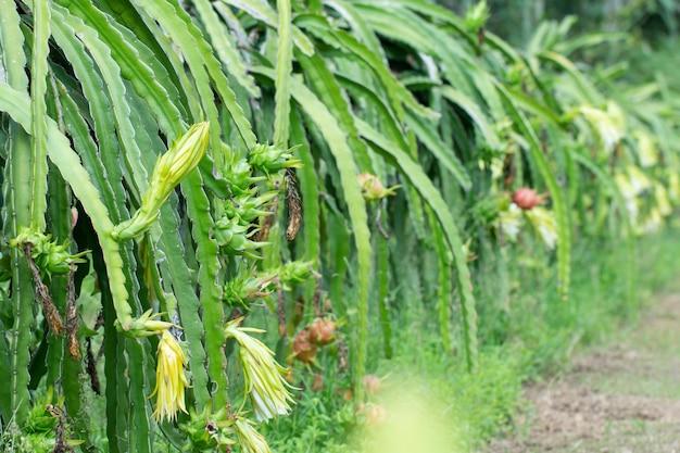 Dragão cru fresco-fruta na fazenda ou fruta pitahaya crescendo na fazenda ou ganic
