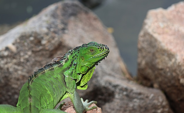 Dragão de água chinês deitado no chão é uma ilha e rochas. iguana verde encontrada nos países da américa central e do golfo. (physignathus cocincinus)