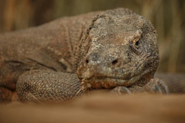 Dragão de komodo no belo habitat natural na famosa ilha da indonésia