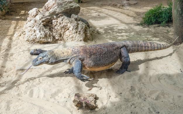 Dragão de komodo, o maior lagarto do mundo em um ambiente de parque zoológico
