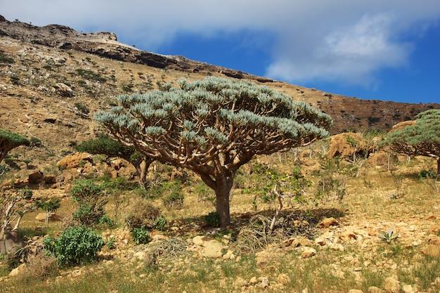 Dragoeiro, árvore de sangue no planalto de homhil, ilha de socotorá, oceano índico, iêmen