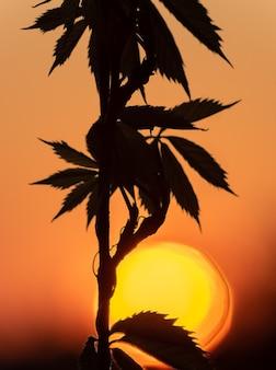 Dramático pôr do sol na primavera; folhas de uvas donzelas.