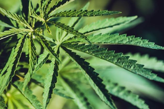 Droga legalizada - close da folha de cânhamo