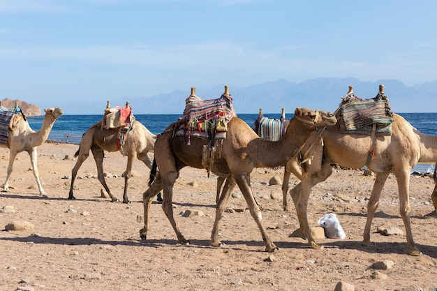 Dromedar camelo nas areias do deserto quente, egito, sinai