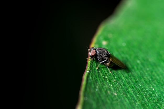 Drosophila na folha