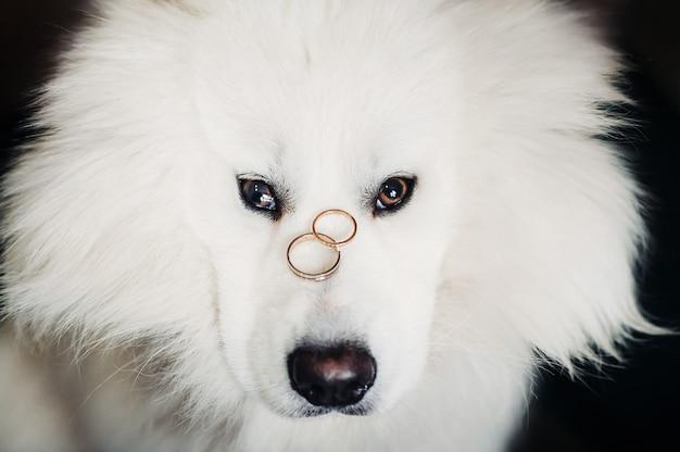 Duas alianças de casamento repousam no nariz de um grande cachorro branco