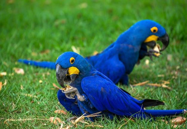 Duas araras-azuis estão sentadas na grama e comendo nozes