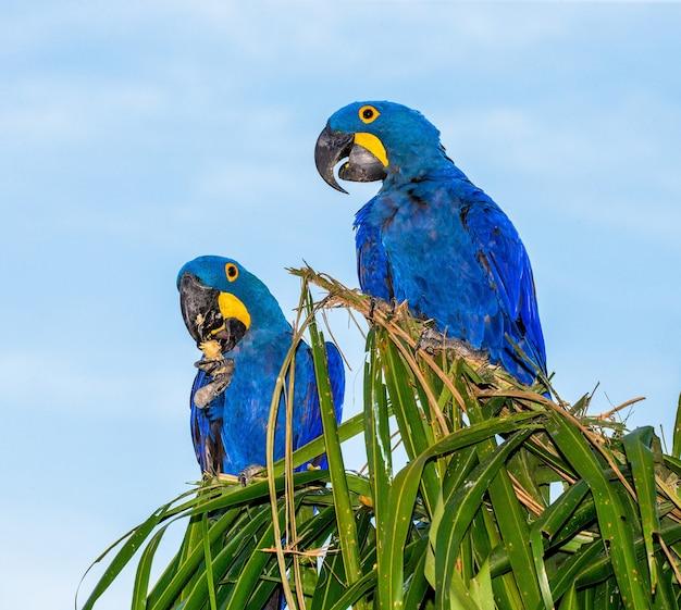 Duas araras azuis sentadas em uma palmeira comendo nozes