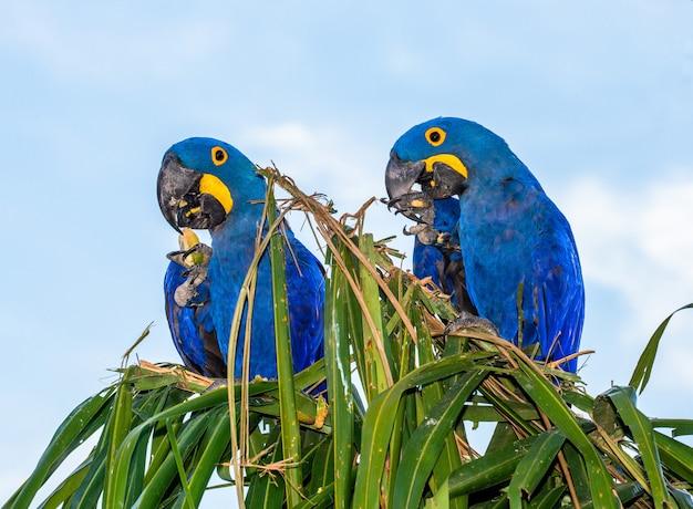 Duas araras-jacintos estão sentadas em uma palmeira e comendo nozes
