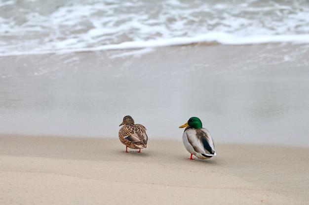 Duas aves aquáticas caminhando perto do mar báltico