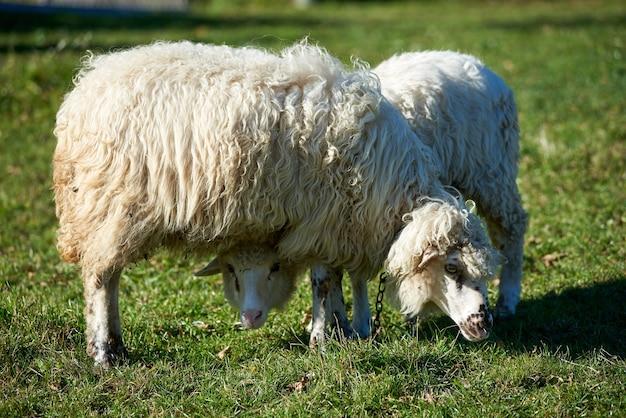 Duas belas ovelhas brancas pastando pacificamente juntos no prado de verão montanha verde em dia ensolarado.