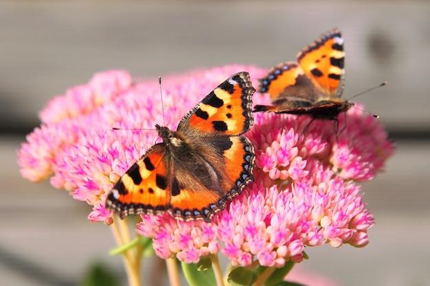 Duas borboletas laranja, sentado em uma flor rosa.