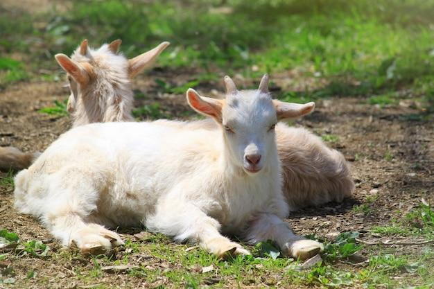 Duas cabras descansando na grama verde e olhando. conceito de zoológico.