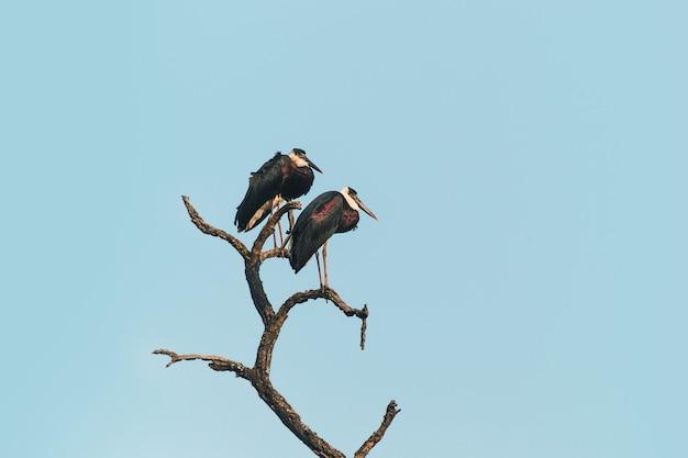 Duas cegonhas empoleiradas em uma árvore morta no fundo do céu azul. índia, parque nacional.