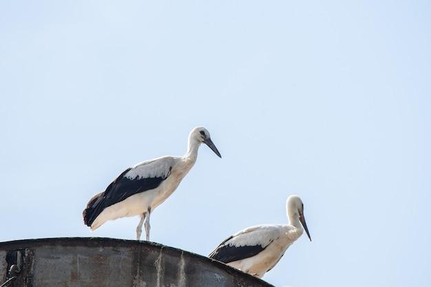Duas cegonhas no ninho contra o fundo do céu azul, ovos para incubação, pássaros poloneses