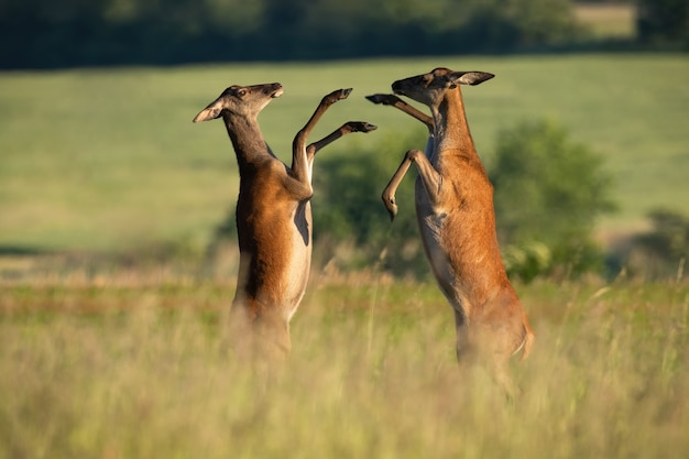 Duas cervas de veado-vermelho lutando em um prado na natureza de verão