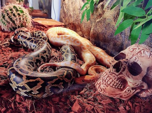 Duas cobras amarelas e cinza tecidas juntas mentem