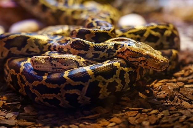 Duas cobras boas enroscaram-se uma na outra no ninho.
