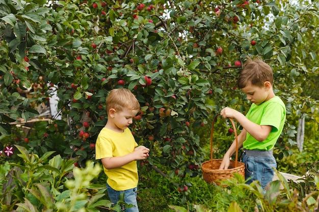 Duas crianças colhem maçãs orgânicas frescas e suculentas