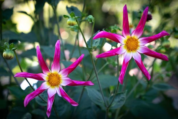 Duas dálias amarelas cor-de-rosa da estrela na flor cheia. dahlia pinnata.