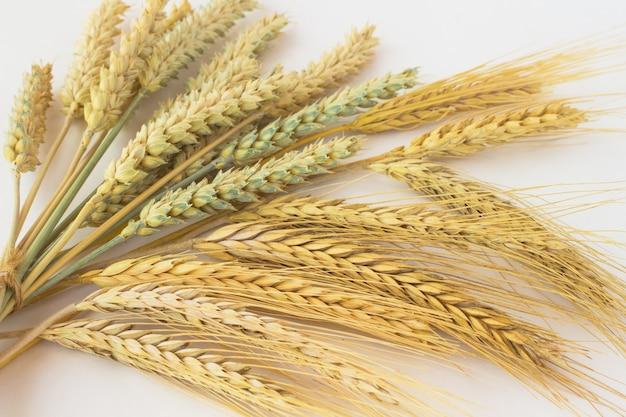 Duas espécies de trigo. espigas de trigo são amarradas.