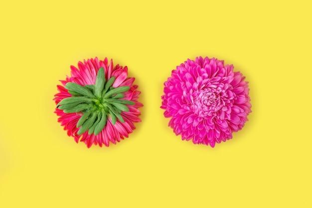 Duas flores de aster frescas rosa verso e rosto inteiro em fundo amarelo. minimalismo, dois lados. composição de flores de primavera. romântico, dia dos namorados, mulheres, dia das mães ou conceito de casamento.