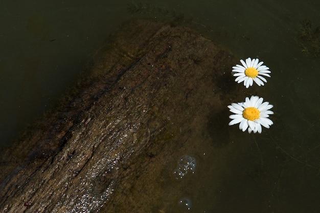 Duas flores de camomila flutuam na água lamacenta do lago ou rio perto de um tronco de madeira