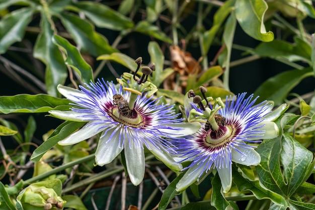 Duas flores de maracujá desabrochando ou passiflora com abelhas coletando néctar