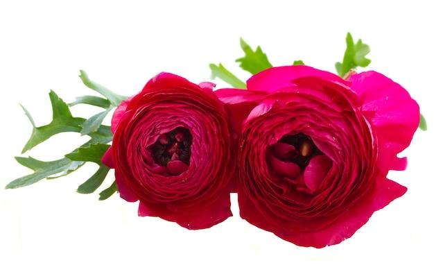 Duas flores de ranúnculo rosa com folha isolada em branco