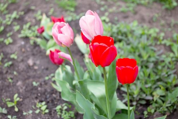 Duas flores de tulipas rosa e vermelhas florescendo no jardim primavera.