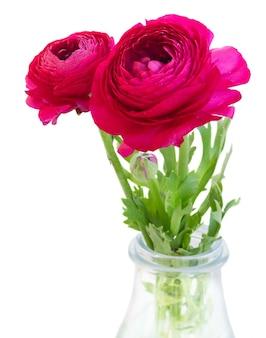 Duas flores rosa ranúnculo em um vaso isolado no branco