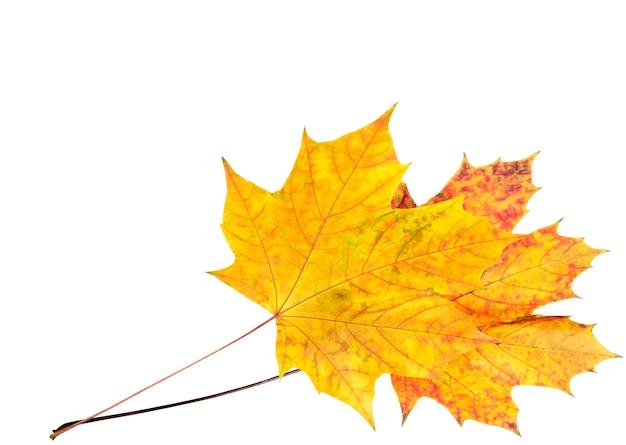 Duas folhas de bordo de outono coloridas em branco isolado (posição de canto com espaço de cópia)