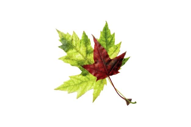Duas folhas de bordo vermelhas e verdes isoladas no fundo branco. voltar para a escola