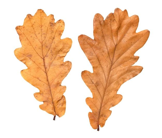 Duas folhas secas de outono de carvalho em um fundo branco e desfocado