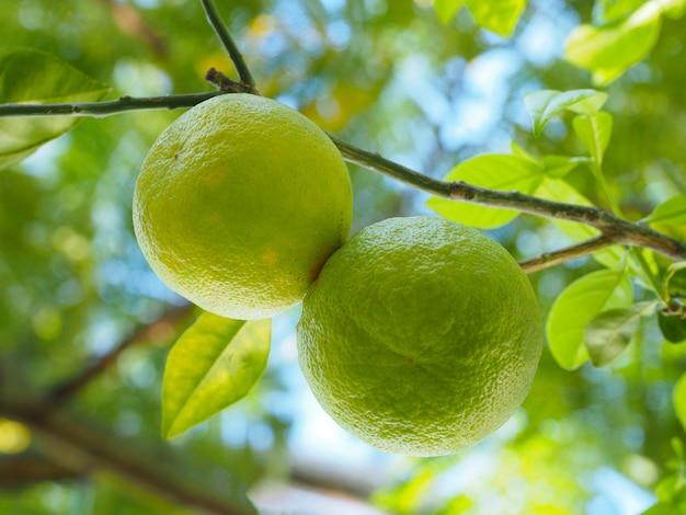 Duas frutas verdes penduradas em um galho de laranjeira com folhas verdes. república dominicana.