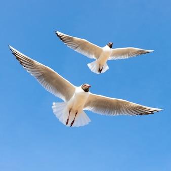 Duas gaivotas em voo no céu azul