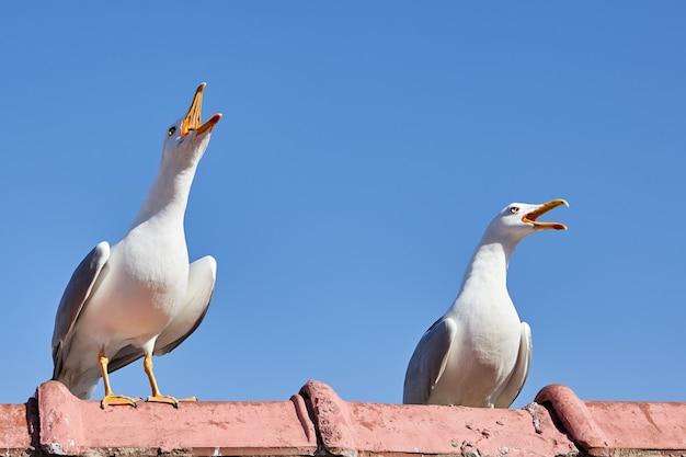 Duas gaivotas estão sentadas na cerca com o bico aberto