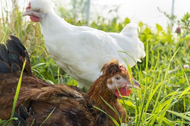 Duas galinhas marrons e brancas bonitos pastam na fazenda e mordiscam a grama em um dia ensolarado. aves, agricultura, fazenda, criação de pássaros. carne de frango, galinhas poedeiras, ovos, alimentação saudável e natural. pecuária, criação de animais.