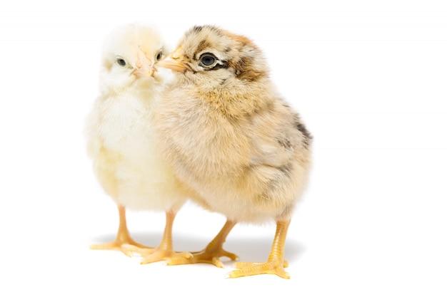 Duas galinhas no fundo branco