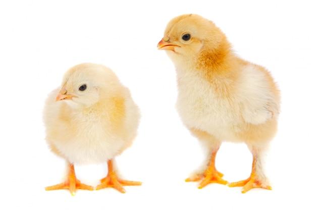Duas galinhas por sobre fundo branco