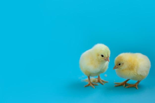 Duas galinhas recém-nascidas amarelas isoladas sobre fundo azul. copie o espaço do lado esquerdo. conceito de cartão de páscoa