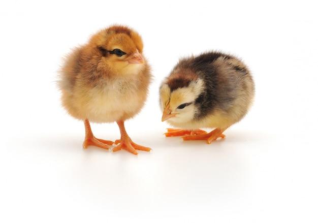 Duas galinhas