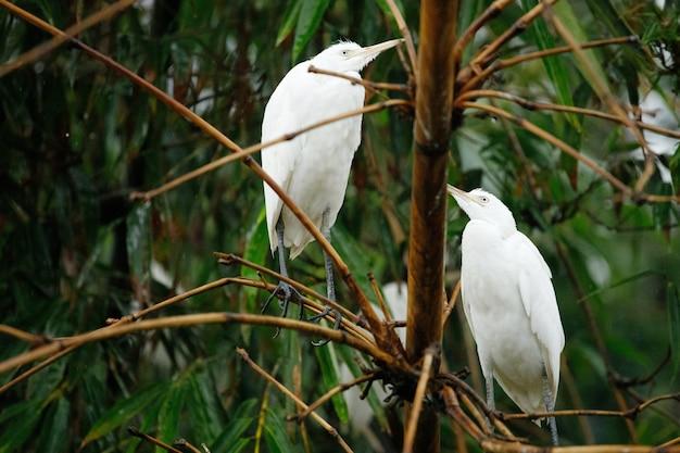 Duas garças selvagens estão sentadas em uma árvore na floresta. bali, indonésia