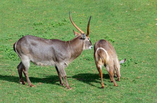 Duas gazelas oryx lutando