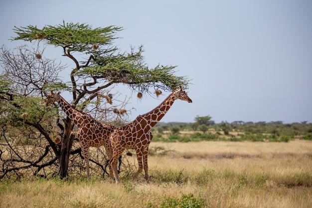 Duas girafas da somália comem folhas de acácias